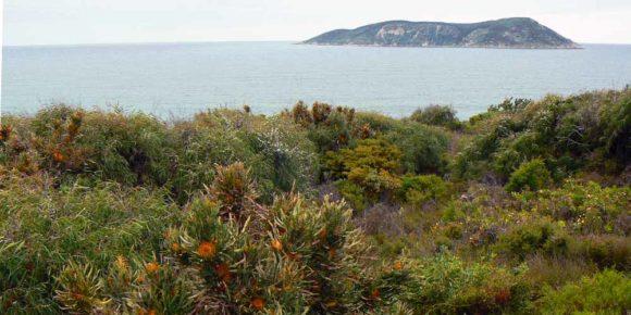 Dryandra formosa - Michaelmas Island Albany